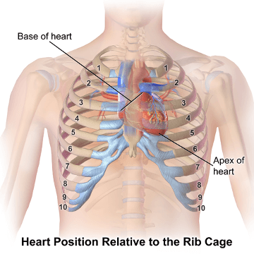 ACLS Online Library: Anatomy of the Heart
