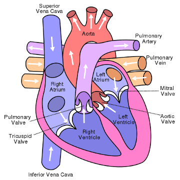 Image-1-Diagram-of-the-human-heart.png