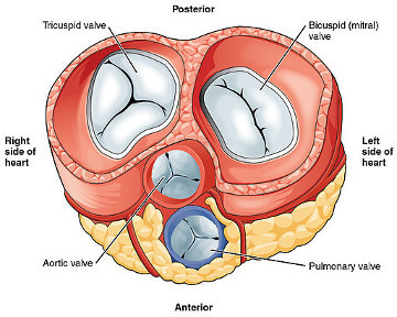 Image-3-Heart-Valves.jpg